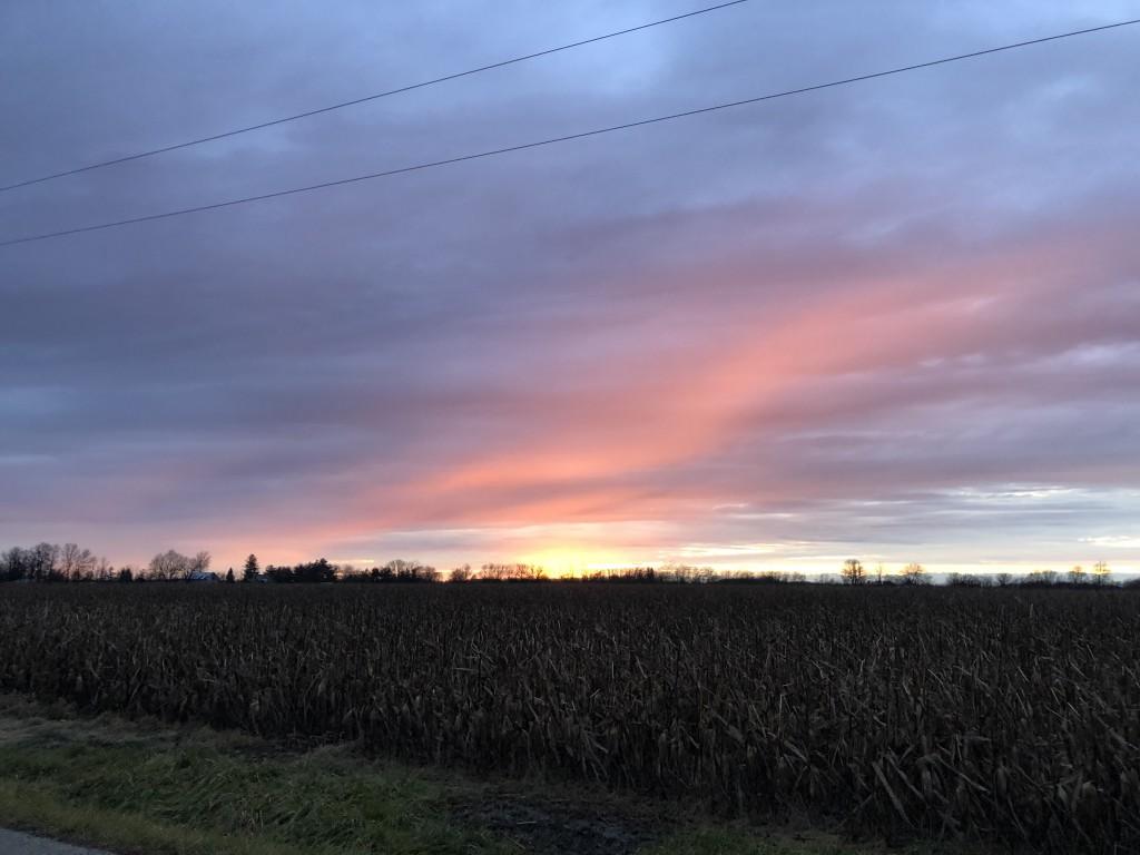 Unharvested corn field